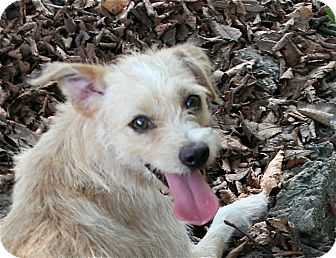 Wirehaired Fox Terrier Mix Dog for adoption in Norwalk, Connecticut - Moonbeam