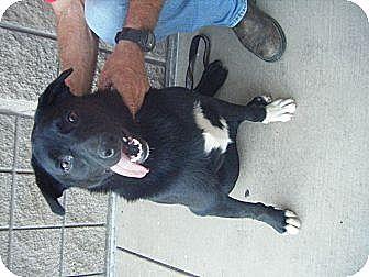 Labrador Retriever/Border Collie Mix Dog for adoption in Mansfield, Texas - Small Paw