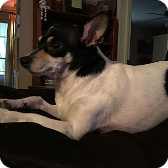 Chihuahua/Rat Terrier Mix Dog for adoption in Hohenwald, Tennessee - Cricket