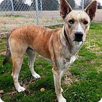 Adopt A Pet :: Sheena - Terrell, TX