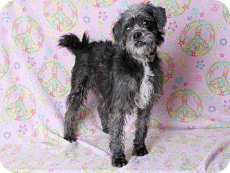 Miniature Schnauzer Mix Dog for adoption in South Lake Tahoe, California - TOTO