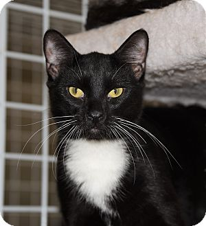 Domestic Shorthair Cat for adoption in Houston, Texas - FAT BOY