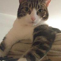 Domestic Shorthair Cat for adoption in Glen cove, New York - Swirley