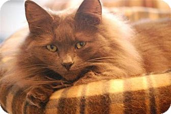 Cymric Cat for adoption in Winston-Salem, North Carolina - Sophie