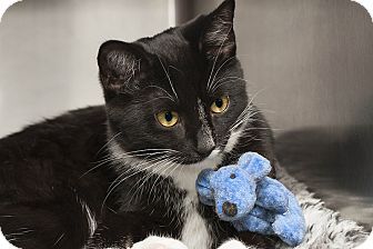 Domestic Shorthair Kitten for adoption in Lombard, Illinois - Madonna