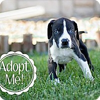 Adopt A Pet :: Superman - Broomfield, CO