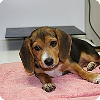 Adopt A Pet :: Annie - Portland, OR