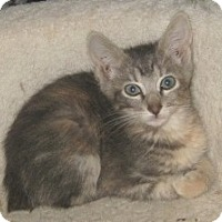 Adopt A Pet :: Manx kittens - Dallas, TX