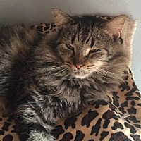 Domestic Longhair Cat for adoption in Thibodaux, Louisiana - Silver Wings FE2-9235