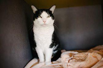 Domestic Shorthair Cat for adoption in Lexington, Kentucky - Teresa