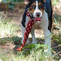 Adopt A Pet :: Mccoy in CT - Manchester, CT