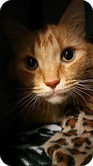 Maine Coon Cat for adoption in Burlington, North Carolina - Molly