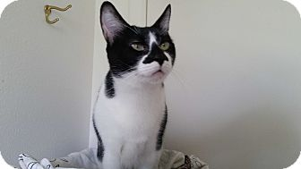 Domestic Shorthair Cat for adoption in West Palm Beach, Florida - Bandit