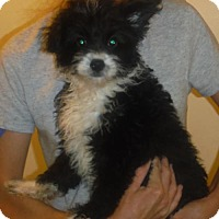 Adopt A Pet :: Xavier - Manchester, NH
