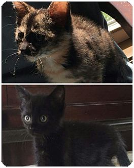 Adopt A Pet :: Tortie  - Virginia Beach, VA