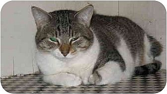 Domestic Shorthair Cat for adoption in Scottsdale, Arizona - Marley