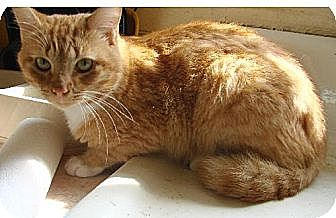 American Shorthair Cat for adoption in Holly Springs, Mississippi - Morris