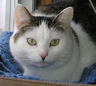 Domestic Shorthair Cat for adoption in Eldora, Iowa - Demi