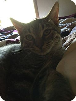 Domestic Shorthair Cat for adoption in Caro, Michigan - Dolly