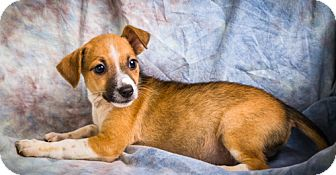 Jack Russell Terrier/Chihuahua Mix Puppy for adoption in Anna, Illinois - JO JO