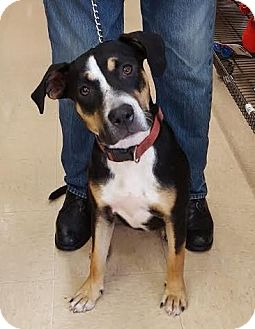 Labrador Retriever/American Bulldog Mix Dog for adoption in Homestead, Florida - Lady (courtesy listing)