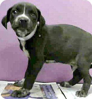 Labrador Retriever/Border Collie Mix Puppy for adoption in Boulder, Colorado - Athens-Adoption Pending