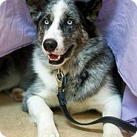 Adopt A Pet :: Yuki - Rigaud, QC