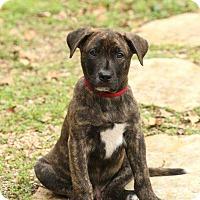 Adopt A Pet :: Tyson - Allen, TX