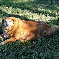 Adopt A Pet :: Cody - Kyle, TX