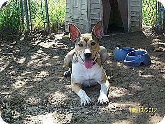 Sheltie, Shetland Sheepdog/Basenji Mix Dog for adoption in Mexia, Texas - DaisyDuke