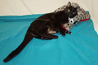 Domestic Shorthair Cat for adoption in Jackson, Mississippi - Little Ricky