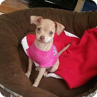 Chihuahua Mix Puppy for adoption in Rancho Cucamonga, California - Ginger