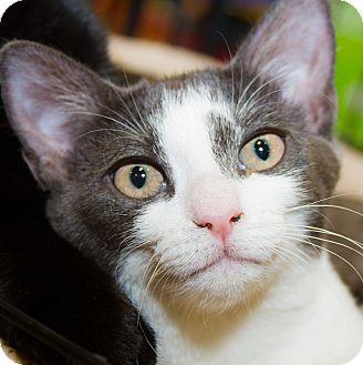 Domestic Shorthair Kitten for adoption in Irvine, California - Beth