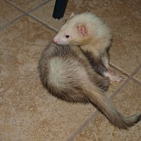 Adopt A Pet :: Lots of Ferrets - Acworth, GA
