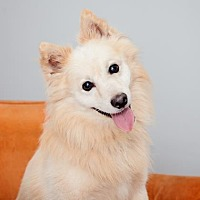 American Eskimo Dog Mix Dog for adoption in Mission Hills, California - Fairbanks
