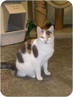 Calico Cat for adoption in Lombard, Illinois - Chardonnay