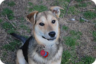 German Shepherd Dog Mix Dog for adoption in Greeneville, Tennessee - Nikki