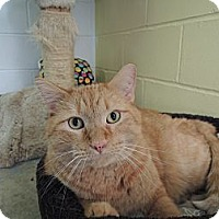 Adopt A Pet :: Big Boy - House Springs, MO