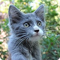 Adopt A Pet :: Carlton - Santa Monica, CA