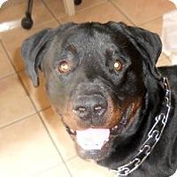 Adopt A Pet :: Romeo - Missouri City, TX