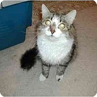 Adopt A Pet :: Snuggles - Toronto, ON