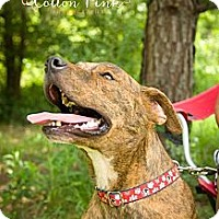 Adopt A Pet :: Tiger - Fort Valley, GA