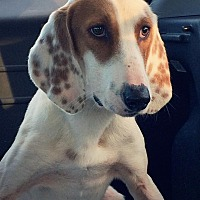 Coonhound Dog for adoption in Charlottesville, Virginia - Donovan