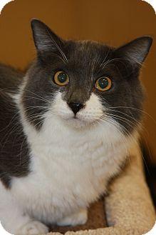Domestic Longhair Cat for adoption in Phoenix, Arizona - Fluffy