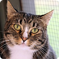Domestic Shorthair Cat for adoption in Ventura, California - Rocky