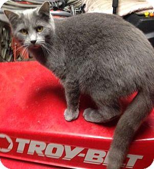 Domestic Shorthair Cat for adoption in Elyria, Ohio - Captain