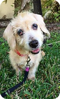 Dachshund Dog for adoption in Weston, Florida - Jennifer