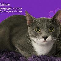 Adopt A Pet :: Charming CHASE - Monrovia, CA