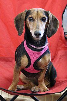 Dachshund Dog for adoption in Henderson, Nevada - Daisey Mae