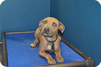 Labrador Retriever/Shepherd (Unknown Type) Mix Dog for adoption in Henderson, North Carolina - Molly